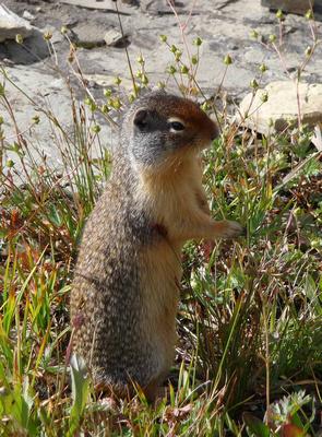 Marmot near Hidden Lake