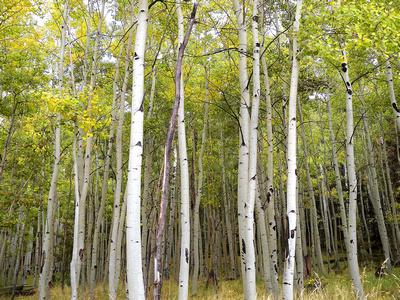 Aspen Trees in Lockett Meadow