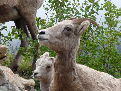Bighorn Sheep near Many Glacier Hotel