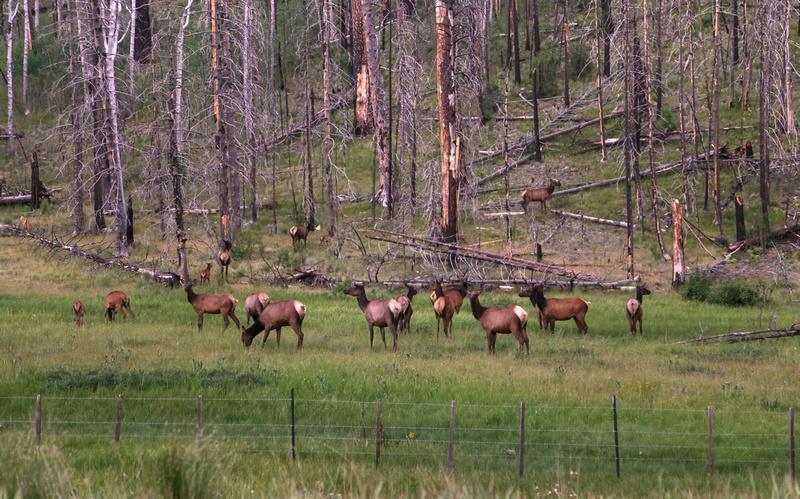 Elk Herd near Alpine