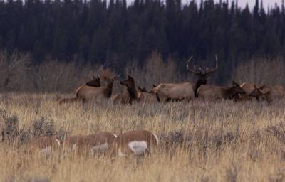 Elk harem near the Snake River