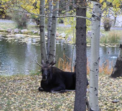 Moose at Spring Creek Ranch