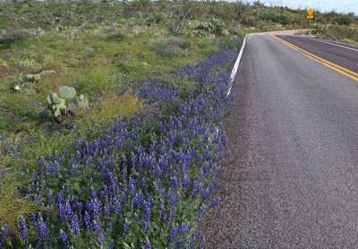 Lupine Along the Apache Trail
