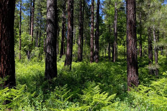Beautiful Forest near Hawley Lake