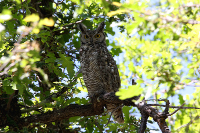 Great Honrned Owl