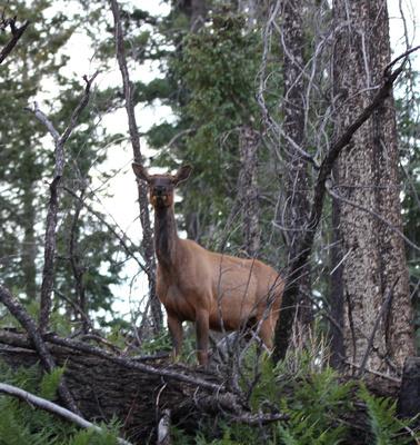 Elk near Reno Lookout