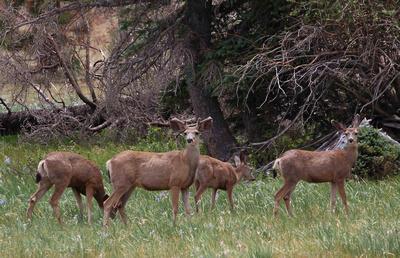 Deer near Big Lake