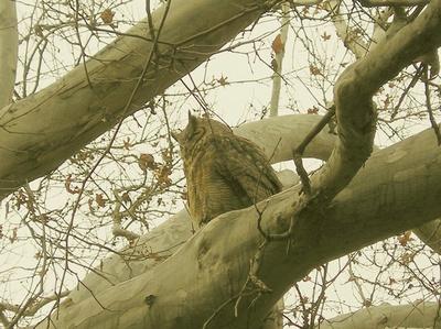 Owl along the Boynton Canyon Trail