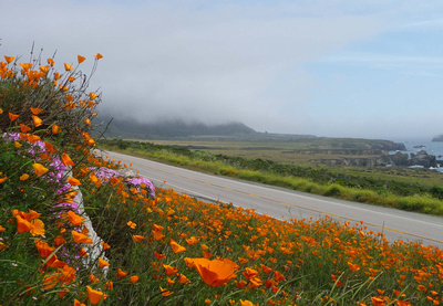 Gold Poppies along the Pacific Coast Highway