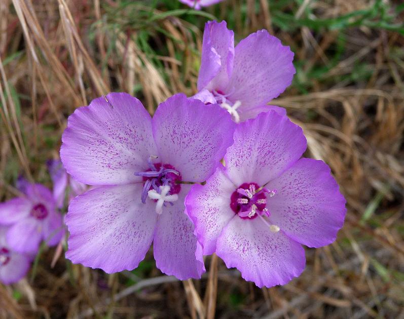 Wildflowers in Kern River Valley