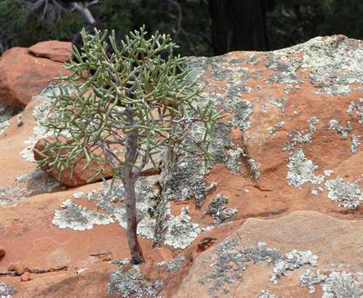 Miniature Pine Tree near Devil's Bridge