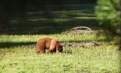 Grizzly Bear near Yosemite