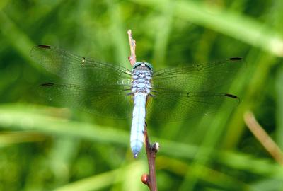 Dragonfly in Lockett Meadow
